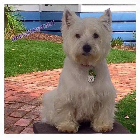 west highland white terrier Benji z novim obeskom.